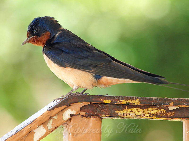 Female Barn Swallow With Mud Bits Still On Her Beak