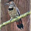 Female Northern (red-shafted) Flicker