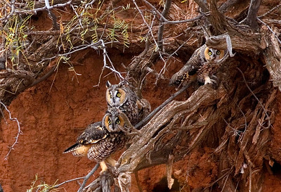 Long-eared Owls blend into the clay and mesquite bushes along an arroyo near Carlsbad, New Mexico. November, 2007.