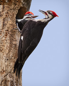 Pileated Woodpeckers, Tolland, CT