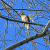 Buteo jamaicensis-Red-tailed Hawk 1