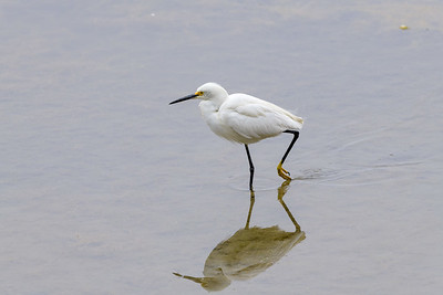 Snowy Egret and Reflection