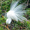 GREAT EGRET PLUMMAGE AND NEST BUILDING COURTSHIP AND NESTING DISPLAY.