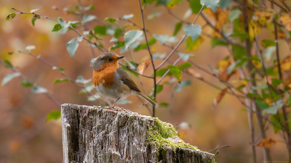 Robin on feeding post  in Bowdown Woods 2