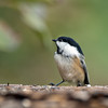 Black-Capped Chickadee - Manitoba, Canada