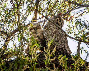 Mother and Fledgling Horned Owl