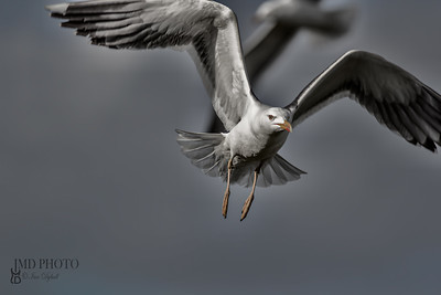 Urban wildlife. The birds. Painterly dark and eerie picture of a seagull