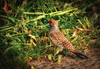 Flicker in Grass