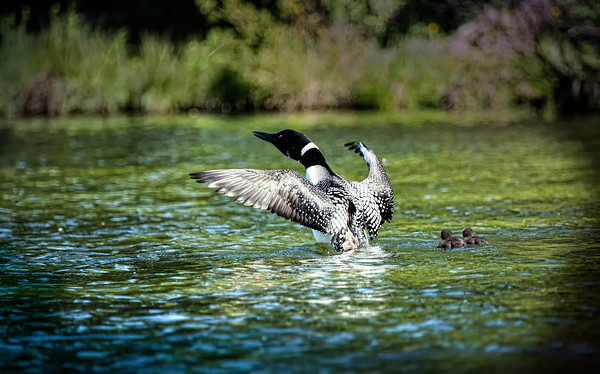 Common Loon & Babies