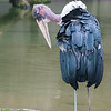 Marabou Stork at Milwaukee County Zoo