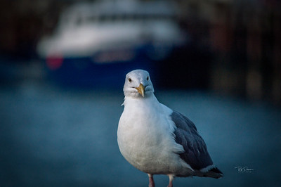 Single Gull