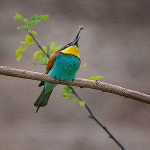Bee-catching Bee-eater