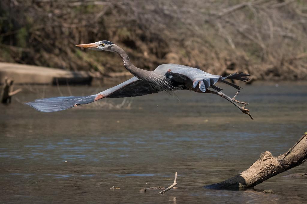 IMAGE: https://photos.smugmug.com/Birds/i-56jJz39/0/XL/GBH%2003242017-6454-XL.jpg