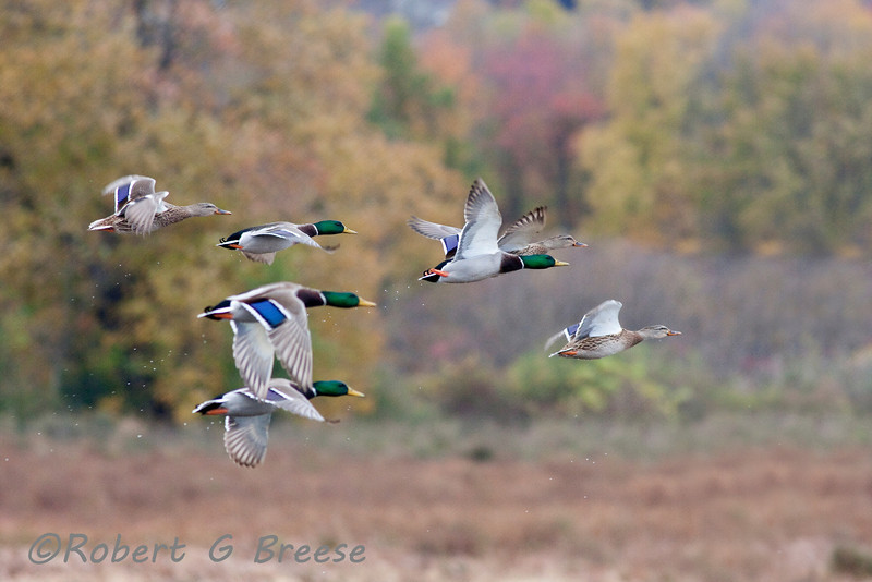 Ducks taking flight at Liberty Marsh on Oil City Road in warwick Friday afternoon.  Liberty Marsh is part of the Wildlife Refuge