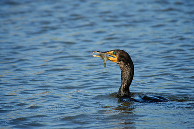 Cormorant in the backyard