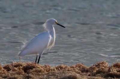 Snowy egret, Celestun, Yucatan