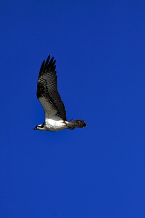 Osprey in flight 4.