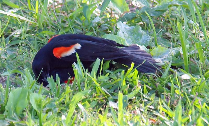 Red-winged Blackbird Death Match 21