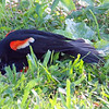 Red-winged Blackbird Death Match 21