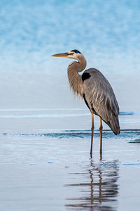 Blue Heron in Morning