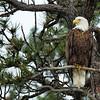 Bald Eagle On Perch