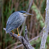 Green Backed Heron aka Striated Heron