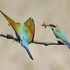 Rainbow Bee-eaters with Lunch, Federation Walk, Gold Coast, Queensland.