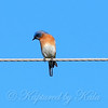 Male Eastern Bluebird View 1
