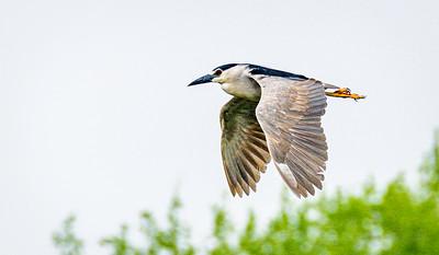 Black Crowned Night Heron, Nycticorax nycticorax