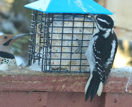 Hairy Woodpecker (Northern Flicker in background)