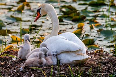 Cygnet Stretch