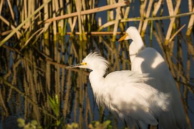 Egrets Hunting