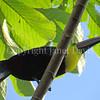 Ramphastos ambiguus swainsonii – Chestnut mandibled toucan 2