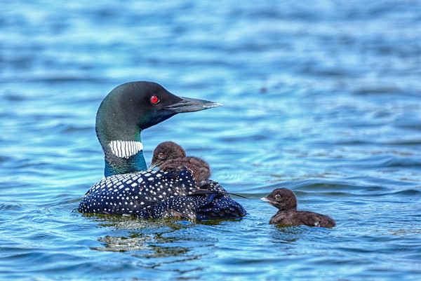 Common Loon with day old chicks