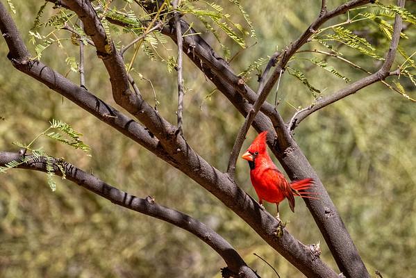 Cardinal, Boyce Thompson Arboretum, AZ