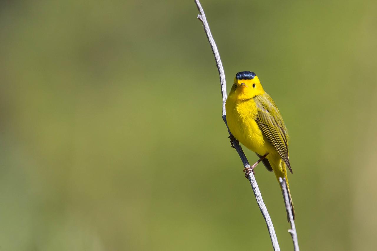 IMAGE: https://photos.smugmug.com/Birds/i-5PTz8SD/0/121f37f7/X2/AO0O7745-X2.jpg