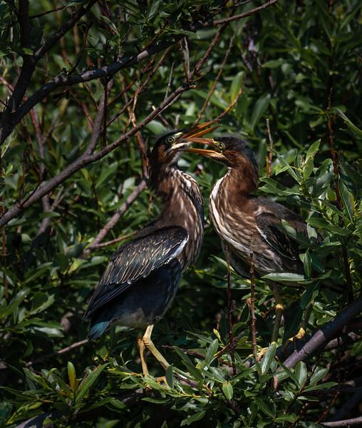 Green Heron siblings