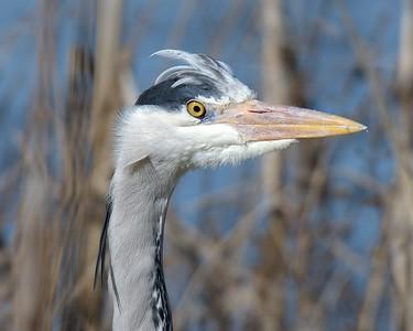 Grey Heron at Farmoor 13th March 2017