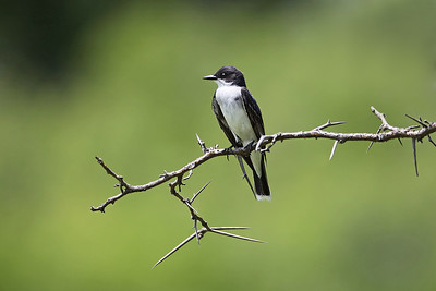 Eastern Kingbird on Thorny Branch