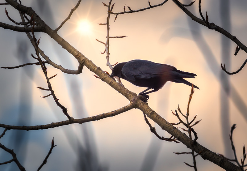 Crow at Sunset