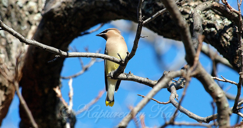 Tree Framed Waxwing