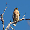 Mama Red-shouldered Hawk In The Sunshine