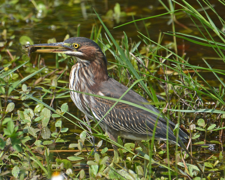 Green Heron with its fresh catch,  a crab.