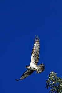 Osprey in flight 1.