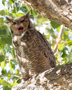 Great Horned Owl 5