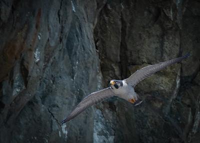 Peregrine Falcon male takeoff