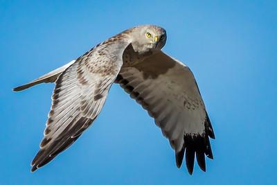 Harrier Sighting