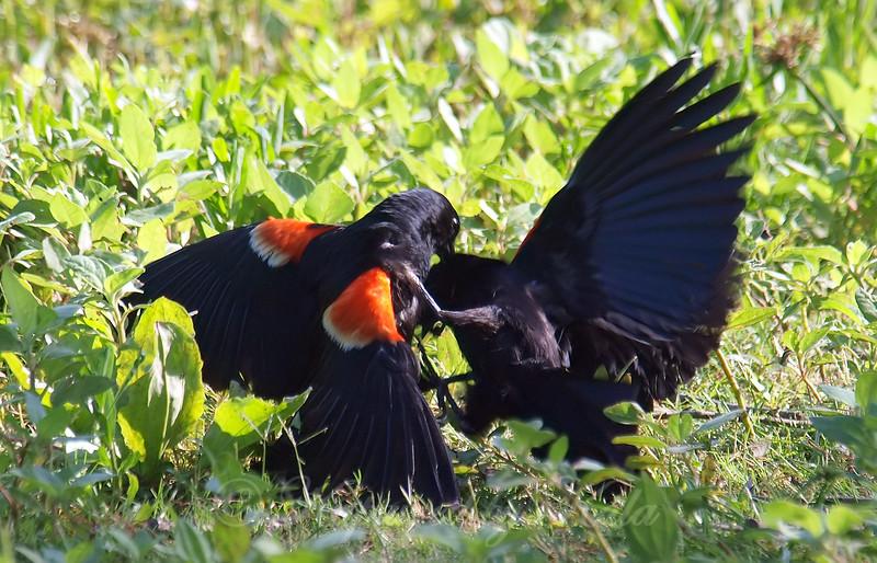 Red-winged Blackbird Death Match 11