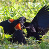 Red-winged Blackbird Death Match 11