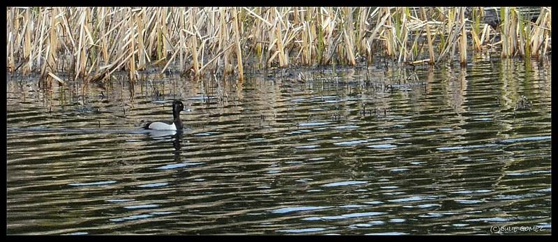 Ring-necked Duck—Aythya collaris